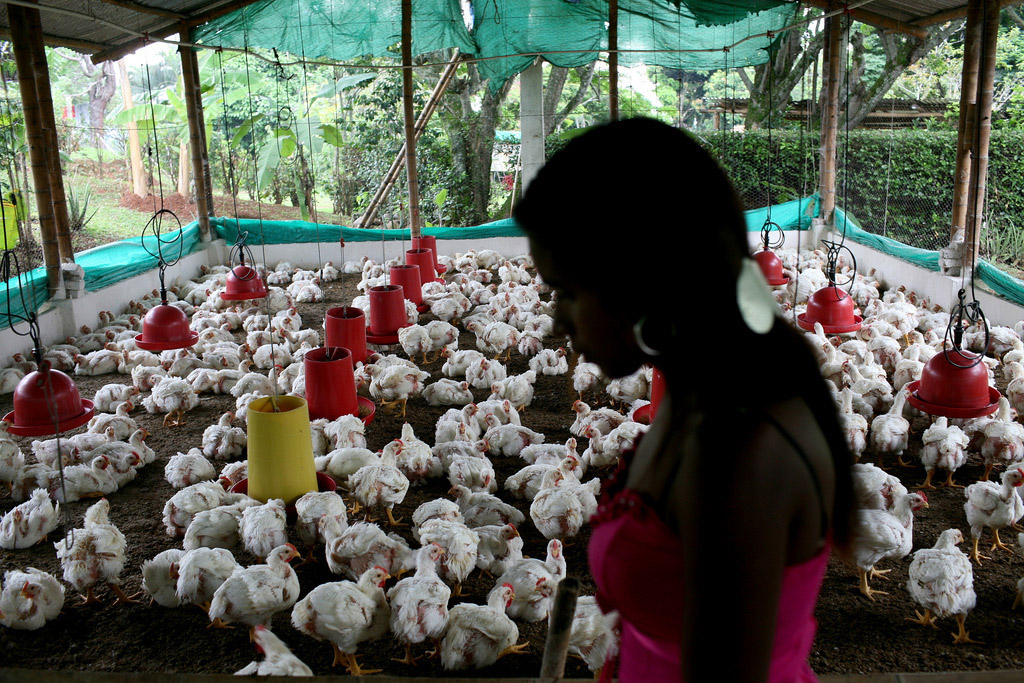 01-30-2015Colombia_Chicken